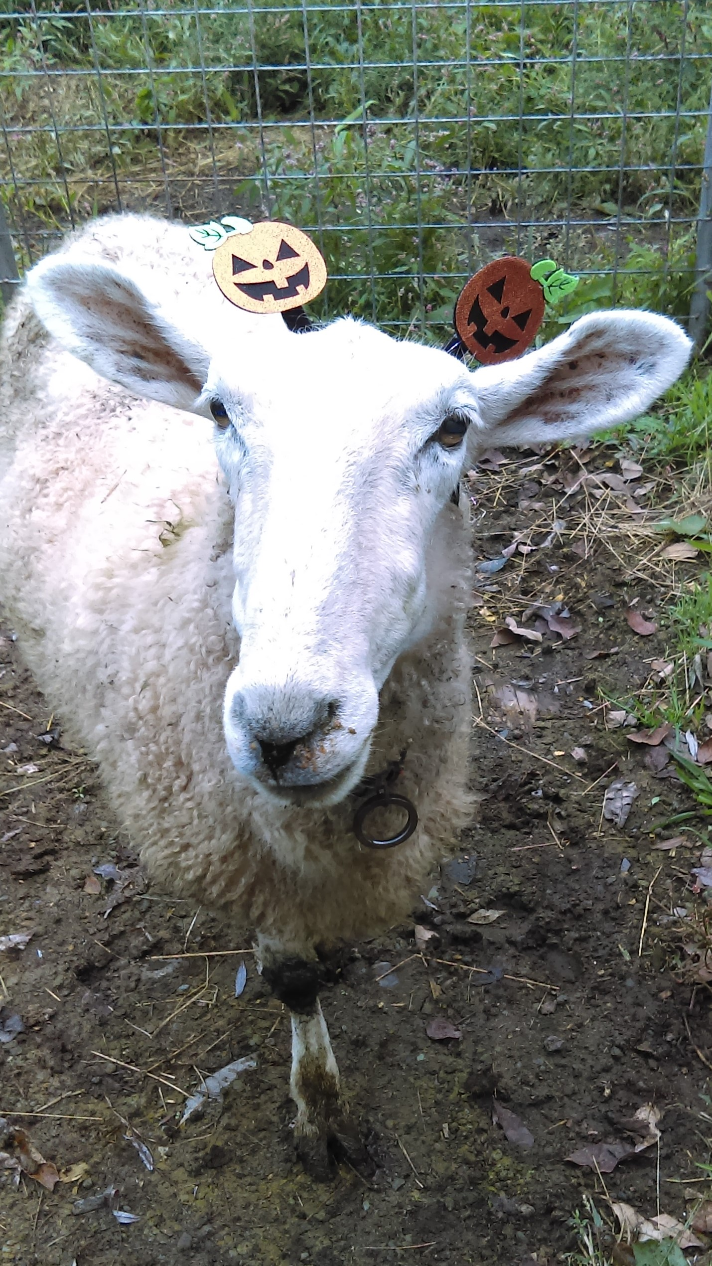The Wooly Blog « Will-O-Wool Sheep Farm : Callicoon New York